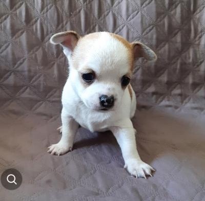 מפוארת גור צ'יוואווה גזעי לבן עם חיות מחמד - ad BE-97